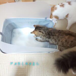 猫のトイレのしつけは必要?我が家のトイレ事情